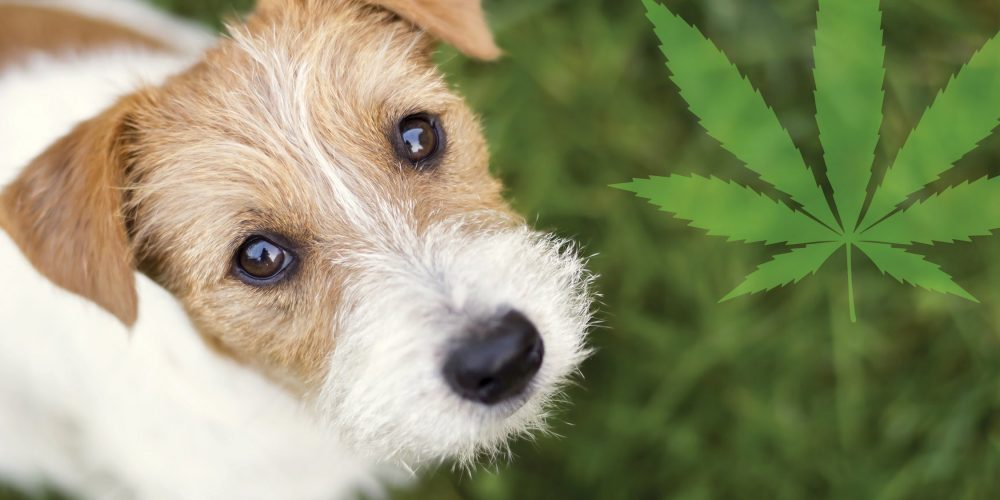How To Get The Best CBD Products For Your Dog