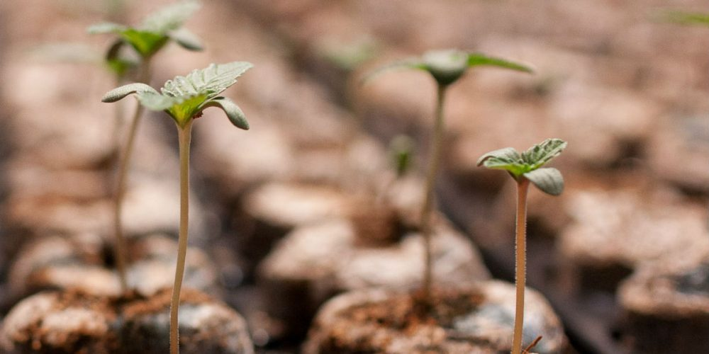 Top Mistakes to Avoid When Germinating Cannabis Seeds